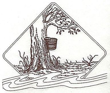 Maple Tree With Bucket For Maple Syrup Production Ready